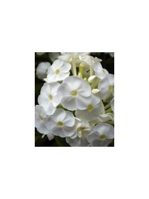 Phlox carolina Miss Lingard
