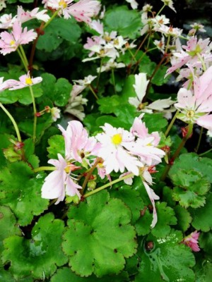 Saxifraga fortunei Cheap Confection