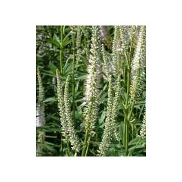 Veronicastrum virginicum Album