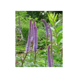 Veronicastrum sibiricum Red Arrows
