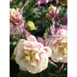 Aquilegia Winky double rose white