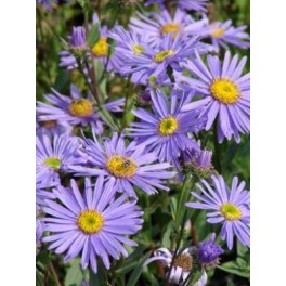 Aster amellus Dr Otto Petscheck