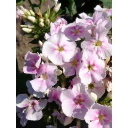 Phlox paniculata Younique Bicolor