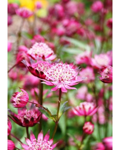Astrantia major Hadspen blood