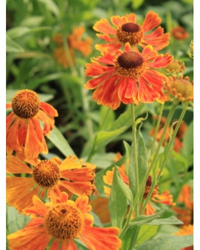 Helenium Sahins early flowerer