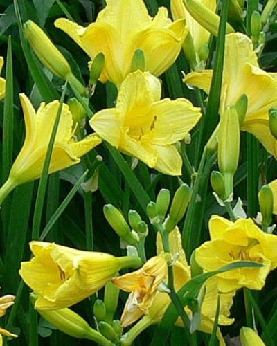 Hemerocallis Happy Returns