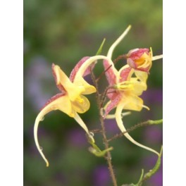 Epimedium Fire Dragon