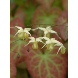 Epimedium Flowers of Sulphur