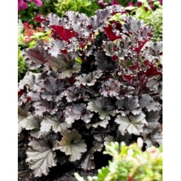 Heuchera Dark Secret