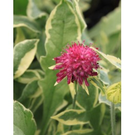 Knautia macedonica Thunder and Lightning