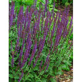 Salvia nemorosa Night Field