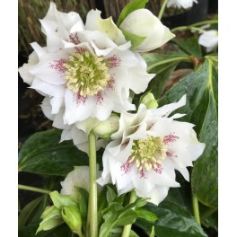 Helleborus double Ellen White Spotted