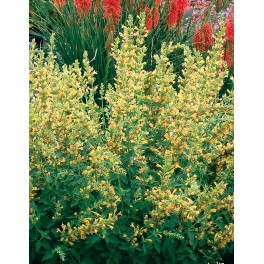Agastache Kudos Yellow