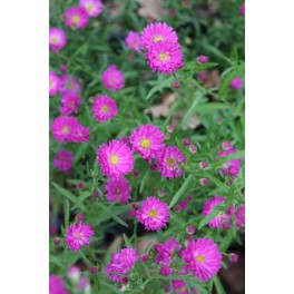 Aster ericoides Pixie Red Eye
