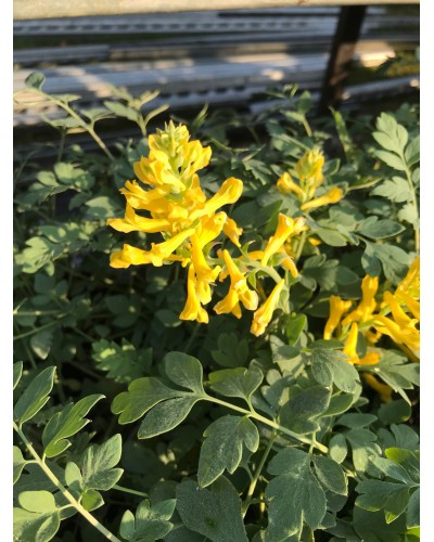 Corydalis Canary Feather