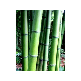 Bambou - Phyllostachys prominens