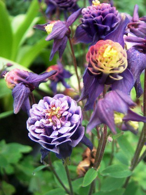 Aquilegia Winky double Blue and White