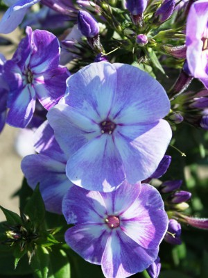 Phlox paniculata Younique Old Blue