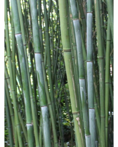 Bambou Phyllostachys bissetii