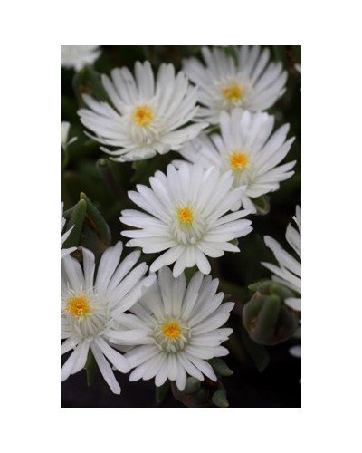 Delosperma Jewel of Desert Moon Stone