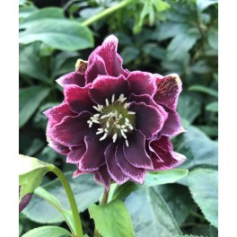 Helleborus double Ellen Purple