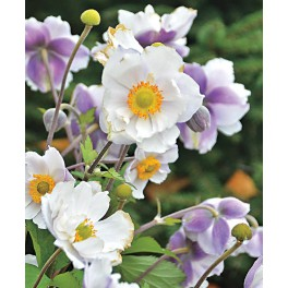 Anemone japonica Dreaming Swan