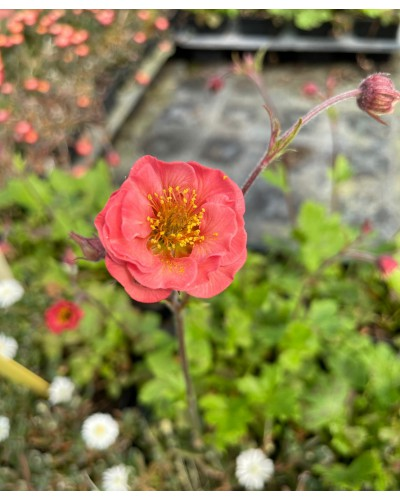 Geum rivale Flames of Passion